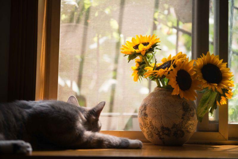graue-Katze-nahe-brauner-Vase-mit-Sonnenblumen-min