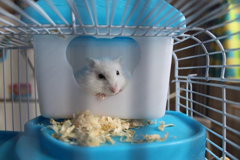 Weiser-Hamster