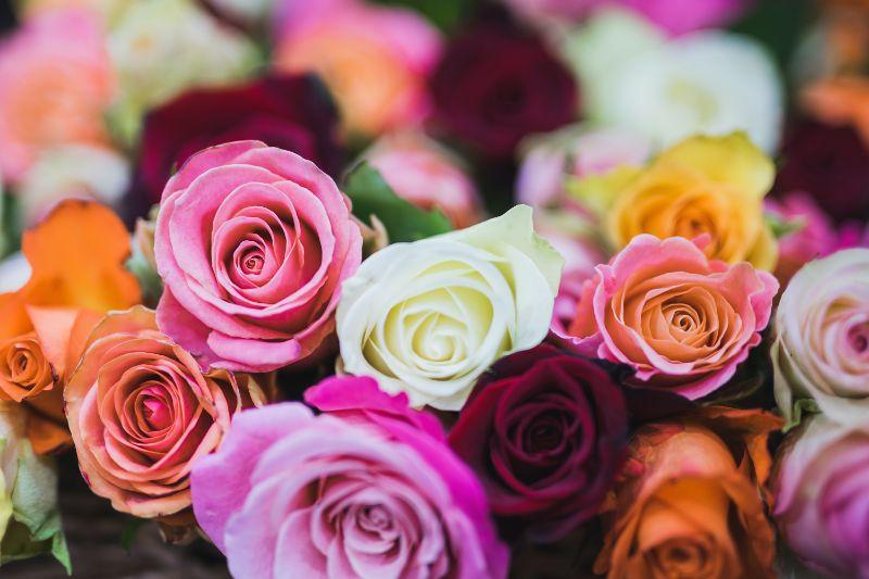 rosen-in-vielen-farben