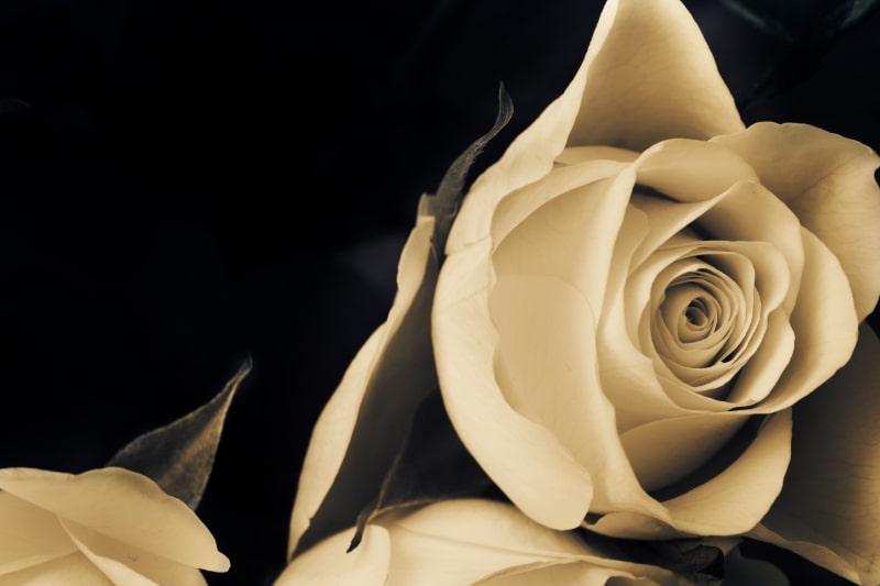 Vorschlag-weise-Rose.-Traurige-Rosenblute