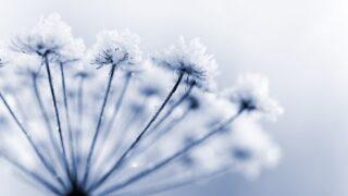 Gefrorene Blume
